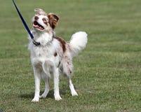 快乐的愉快的博德牧羊犬 免版税库存图片