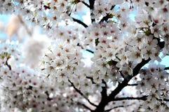 快乐的春天白色樱花盛开 免版税库存图片
