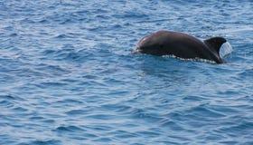 快乐的海豚 免版税库存照片