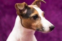 快乐的狗,杰克罗素 免版税库存图片
