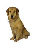 快乐的猎犬 免版税图库摄影