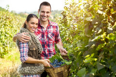 快乐的种葡萄并酿酒的人 库存照片