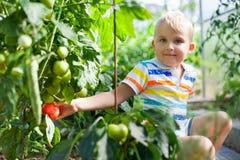 快乐的被晒黑的男孩白肤金发的聚集红色蕃茄自温室 免版税图库摄影
