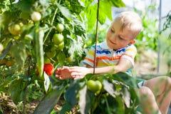快乐的被晒黑的男孩白肤金发的聚集红色蕃茄自温室 免版税库存照片