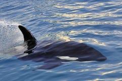 快速凶手游泳鲸鱼 免版税图库摄影