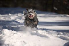快速和愤怒的狗 库存照片