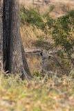 快速地上升一棵高树的孤立豹子本质上在dayti期间 免版税库存照片