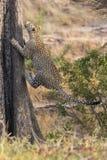 快速地上升一棵高树的孤立豹子本质上在dayti期间 库存图片