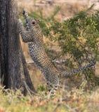 快速地上升一棵高树的孤立豹子本质上在dayti期间 免版税库存图片
