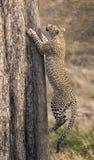快速地上升一棵高树的孤立豹子本质上在dayti期间 图库摄影
