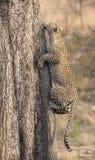 快速地上升一棵高树的孤立豹子本质上在dayti期间 库存照片