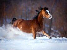 快速地疾驰在冬天的海湾马 免版税库存照片