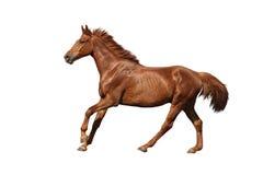 快速地疾驰在白色背景的栗子马 免版税库存图片