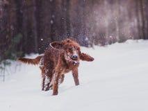 快速地跑在森林里的两个美丽的红色爱尔兰人的特定装置在晴朗的冬日 免版税库存图片
