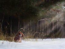快速地跑在森林里的两个美丽的红色爱尔兰人的特定装置在晴朗的冬日 免版税库存照片