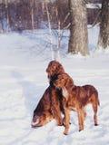 快速地跑在森林里的两个美丽的红色爱尔兰人的特定装置在晴朗的冬日 图库摄影