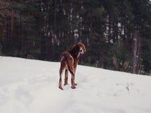 快速地跑在森林里的两个美丽的红色爱尔兰人的特定装置在晴朗的冬日 库存照片