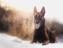 快速地跑在森林里的惊人的泰国malinois牧羊犬在早晨晴朗的冬日 库存图片