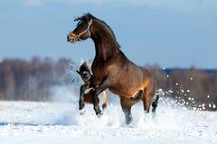 快速地跑在雪的两匹马 库存图片