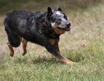 快速地跑的狗 免版税库存照片