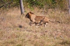 快速地跑的狮子男性狩猎 免版税库存照片