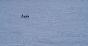 快速地跑通过寒带草原的驯鹿在北极和人中间在佩带毛皮的雪橇 r 股票视频