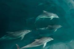 快速的海豚荚在野生生物海 图库摄影