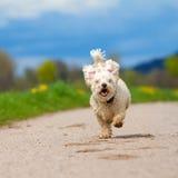 快速的猎狗 免版税图库摄影