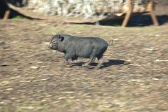 快速的连续越南小猪 免版税库存图片