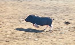快速的连续越南小猪 库存照片