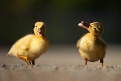 快活的鸭子 免版税库存照片