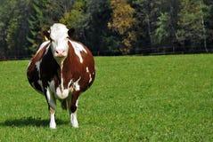 怀孕棕色的母牛 库存照片