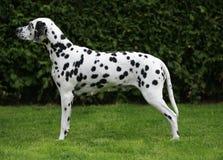 怀孕母狗的达尔马提亚狗 免版税库存照片