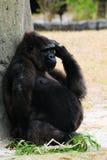怀孕的大猩猩 免版税库存图片