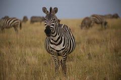 怀孕的斑马在Savana在塞伦盖蒂全国保留区域 库存图片