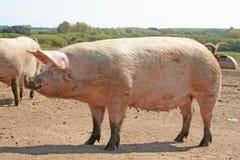 怀孕的母猪 图库摄影