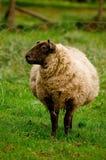 怀孕的母羊 免版税库存图片