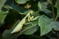 怀孕的母螳螂或螳螂Religiosa在一个自然生态环境 它坐木兰苏珊叶子 库存图片