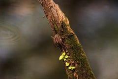怀孕的渔蜘蛛Dolomedes tenebrosus在片断栖息 免版税库存图片