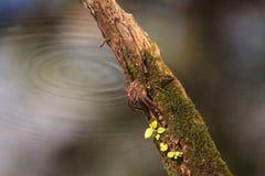 怀孕的渔蜘蛛Dolomedes tenebrosus在片断栖息 库存照片