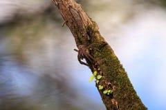 怀孕的渔蜘蛛Dolomedes tenebrosus在片断栖息 免版税图库摄影