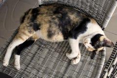怀孕的猫在椅子睡觉 免版税库存照片