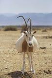 怀孕的羚羊属在沙漠 免版税库存图片