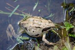 怀孕的青蛙在池塘为分娩做准备 库存图片