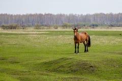 怀孕的马在看照相机的牧场地 库存图片