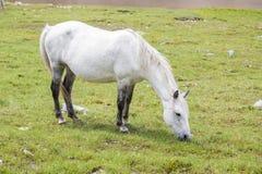 怀孕的马 免版税库存照片