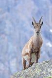 怀孕的高地山羊 库存图片