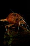 怀孕的Amano虾 库存图片