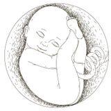 怀孕 在子宫的胎儿 人类胚胎的发展 免版税库存图片