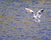 怀特河燕鸥盘旋在水的蓝色表面沐浴 库存图片